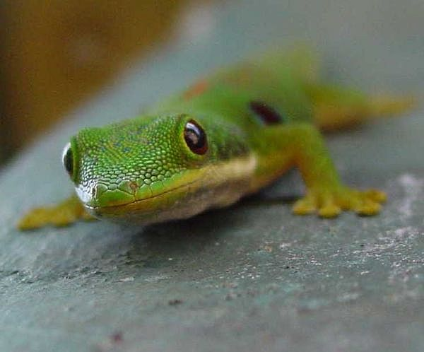 gecko-madagascar-main_full.jpg